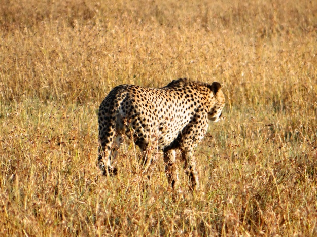 Cheetah 'timing' an impala
